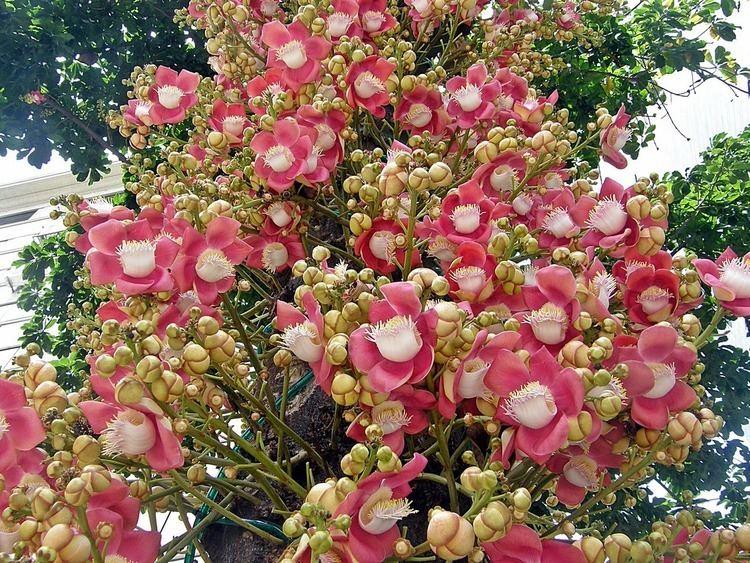Couroupita guianensis 3bpblogspotcomk1GS9Jyg7EUyqg5Dm8GIAAAAAAA
