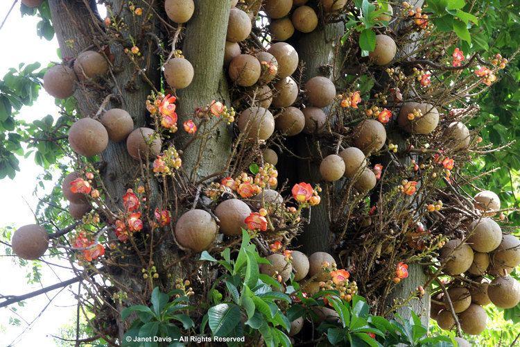 Couroupita guianensis Couroupita guianensisFruit Janet Davis Explores Colour