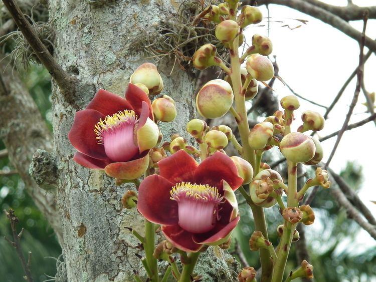 Couroupita guianensis Couroupita guianensis Useful Tropical Plants