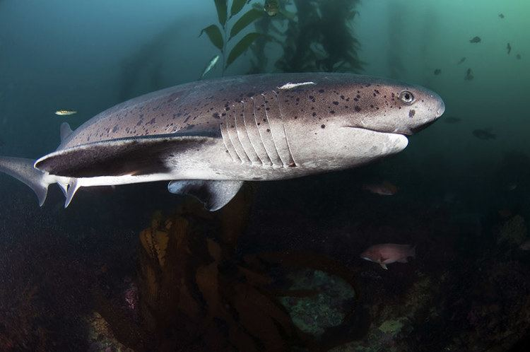 Cow shark Everything You Need to Know About Shark Diving Diviac Magazine