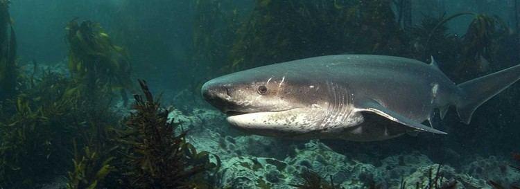 Cow shark Scuba dive with cow sharks Scuba Dive Courses Cape Town