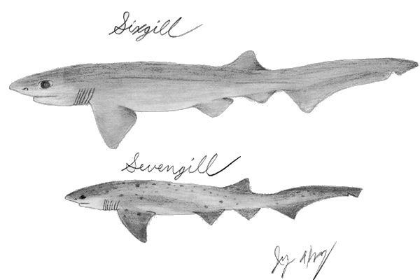 Cow shark Cow Shark Facts and Information Notorynchus Sevengill amp Hexanchus