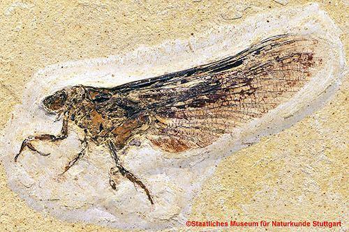 Coxoplectoptera myrmecosnetwpcontentuploads201107coxoplecto