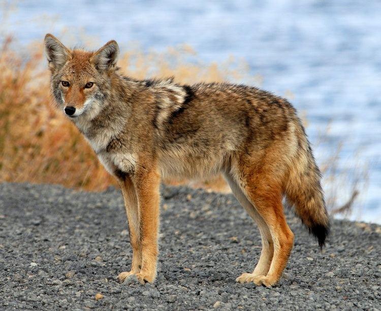 Coyote Coyote Information