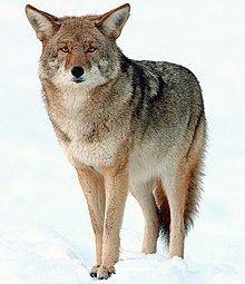 Coyote httpsuploadwikimediaorgwikipediacommonsthu
