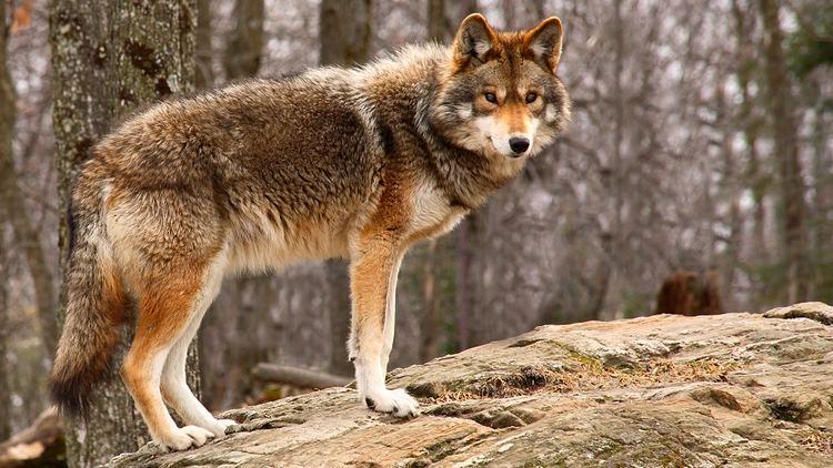 Coyote coyotestandingjpg