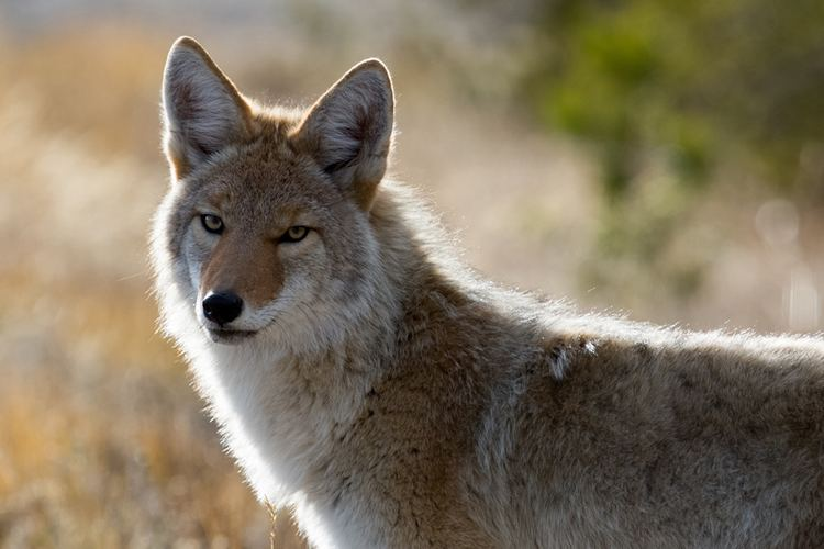 Coyote Coyote Canis latrans NatureWorks