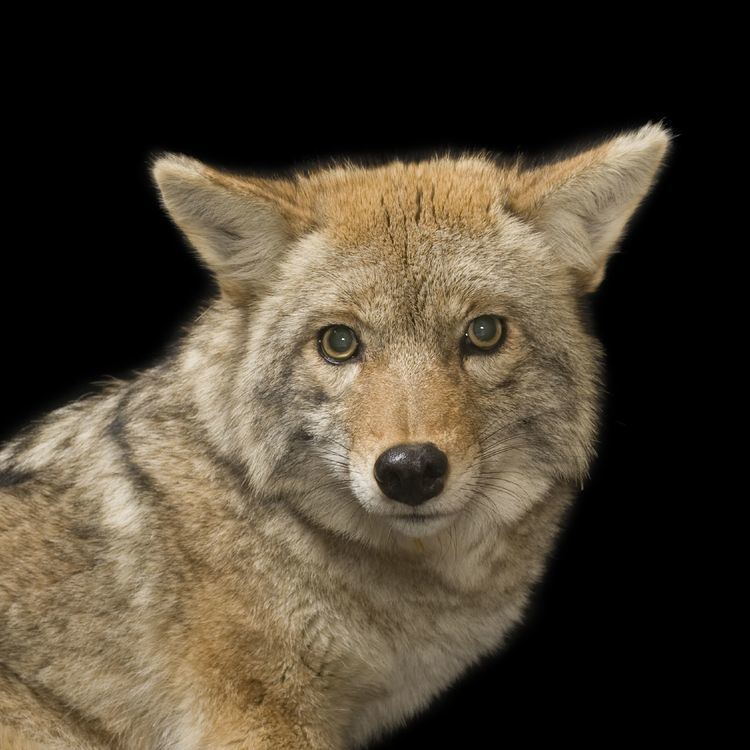 Coyote Coyote National Geographic