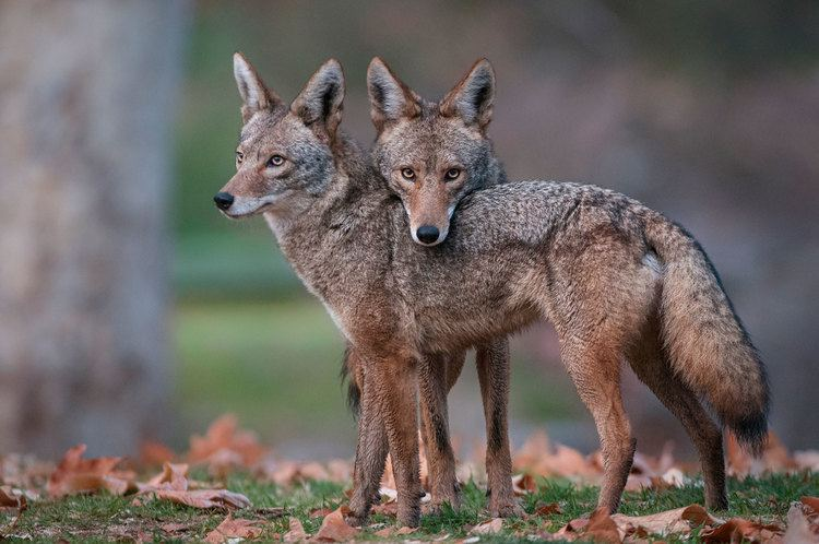 Coyote How the Most Hated Animal in America Outwitted Us All