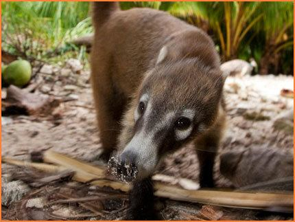 Cozumel Island coati Island Wildlife Cozumel Island Coatis This is Cozumel