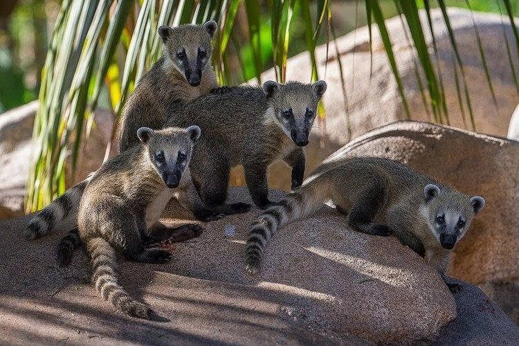 Cozumel Island coati Cute Coati Siblings Explore New Habitat YouTube