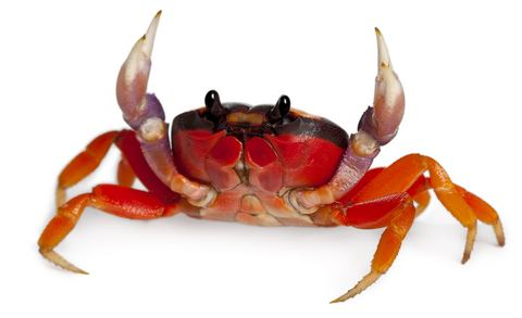 Crab Halloween Crab for Sale Reptiles for Sale