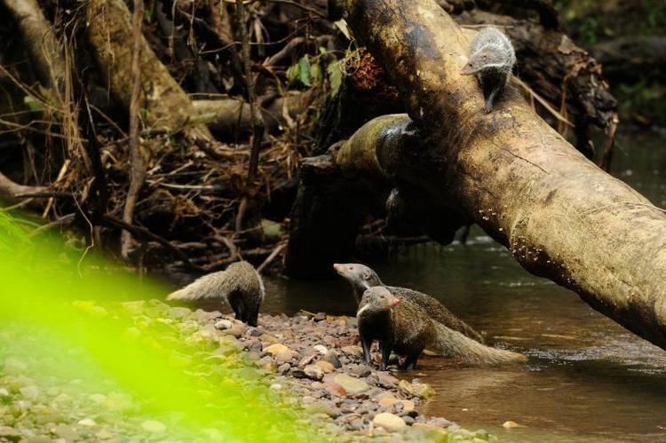 Crab-eating mongoose Crabeating mongoose Herpestes urva