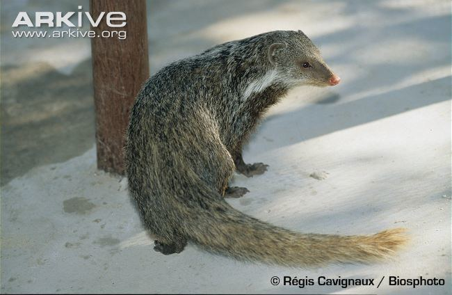 Crab-eating mongoose Crabeating mongoose videos photos and facts Herpestes urva ARKive