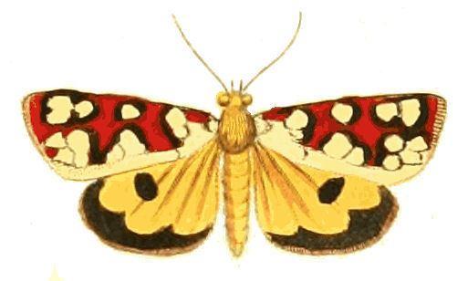 Crameria amabilis