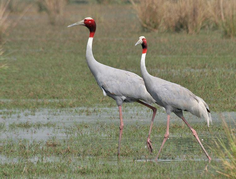 Crane (bird) httpsuploadwikimediaorgwikipediacommons11