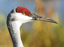 Crane (bird) Crane bird Wikipedia