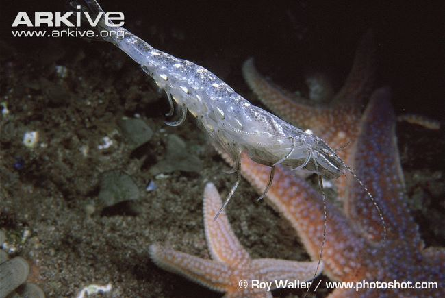 Crangon Common shrimp videos photos and facts Crangon crangon ARKive