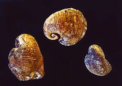 Craspedostomatidae httpsuploadwikimediaorgwikipediacommonsthu