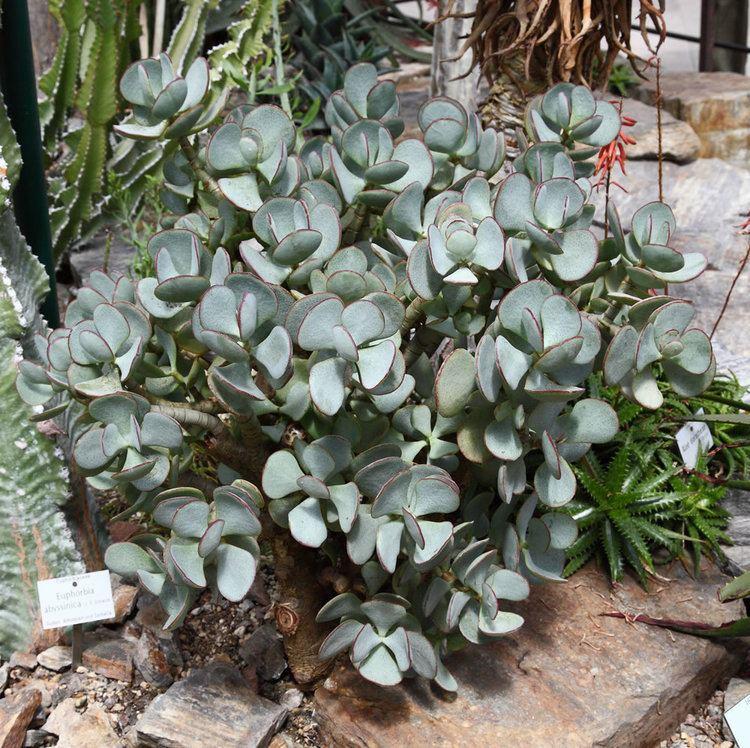 Crassula arborescens Plants amp Flowers Crassula arborescens