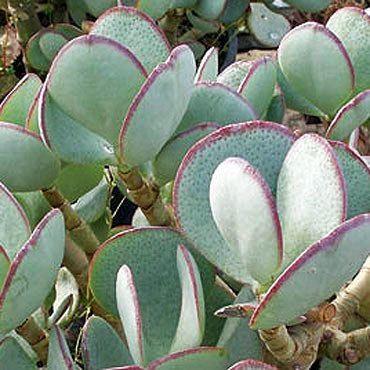 Crassula arborescens cdn6bigcommercecomsoqm1pcproducts1121images
