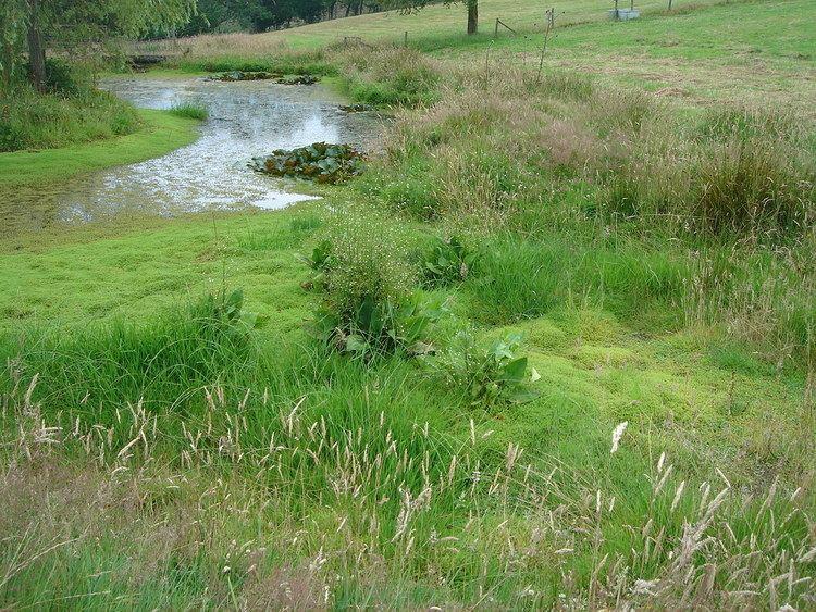 Crassula helmsii Controlling Crassula helmsii impact and options Freshwater