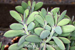Crassulaceae Crassulaceae Jade Plant Family