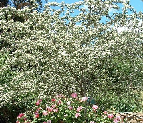 Crataegus tanacetifolia Prickles39s Crataegus tanacetifolia Folia