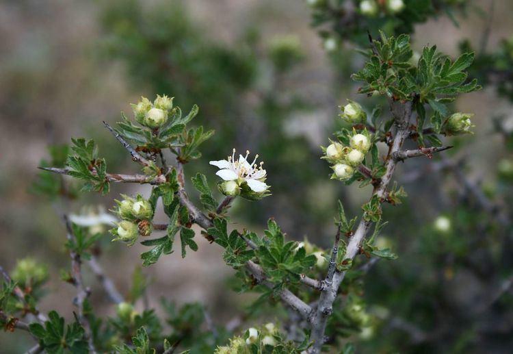 Crataegus tanacetifolia httpsuploadwikimediaorgwikipediacommons88