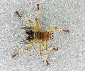 Crataerina pallida Crataerina pallida Wikipdia