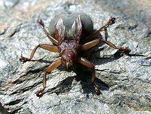 Crataerina pallida httpsuploadwikimediaorgwikipediacommonsthu