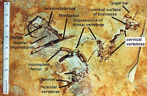 Crato Formation The new Crato Formation enantiornithine Tetrapod Zoology