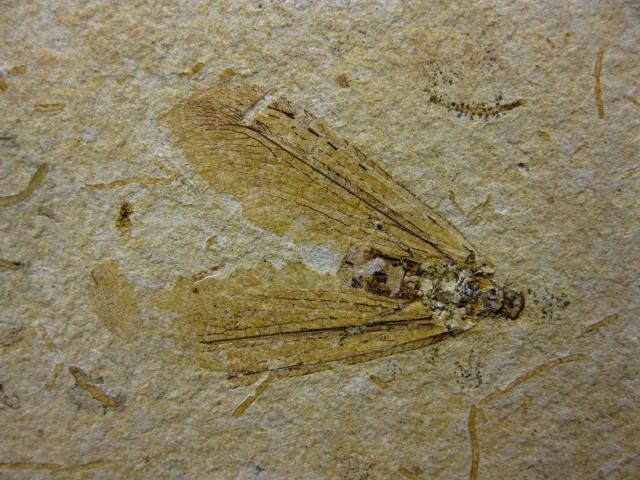 Crato Formation Brazil Crato Formation Insect 10 Indiana9 Fossils