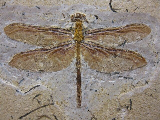 Crato Formation Brazil Crato Formation Insect 12 Indiana9 Fossils