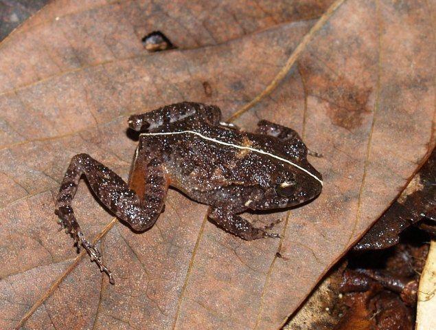 Craugastor polyptychus