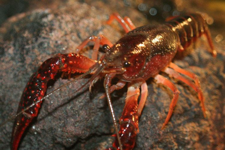 Crayfish Crayfish for your pond can be a good choice to make Find out why here