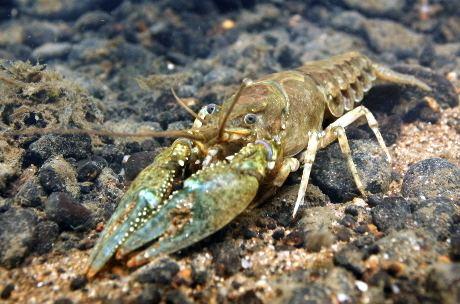 Crayfish plague Europeancrayfishorg Crayfish plague