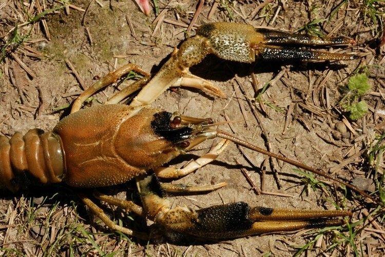 Crayfish plague httpswwwunikoblenzlandaudeencampuslandau