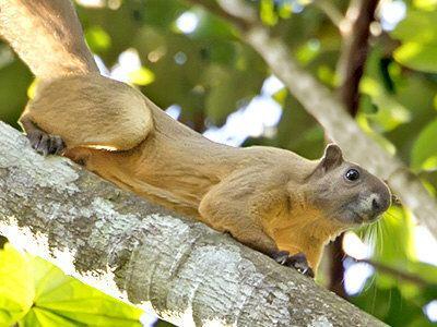 Cream-coloured giant squirrel Creamcoloured Giant Squirrel Ratufa affinis