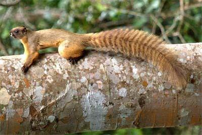 Cream-coloured giant squirrel Creamcolored giant squirrel Ratufa affinis Squirrels