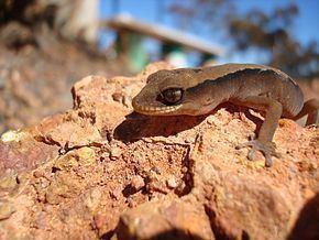 Crenadactylus ocellatus httpsuploadwikimediaorgwikipediacommonsthu