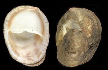 Crepidula Crepidula fornicata