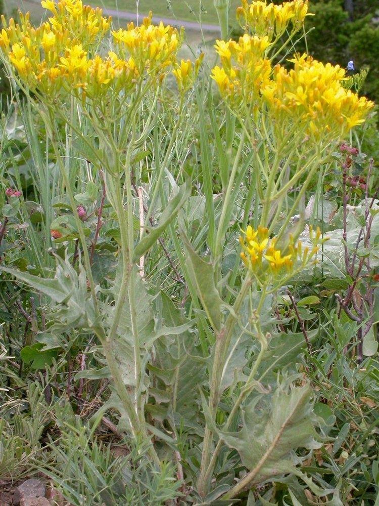 Crepis acuminata Crepis acuminata Wikiwand