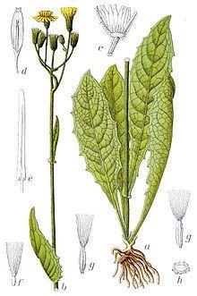 Crepis paludosa httpsuploadwikimediaorgwikipediacommonsthu