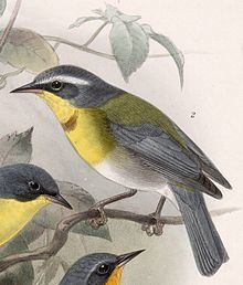 Crescent-chested warbler Crescentchested warbler Wikipedia
