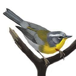 Crescent-chested warbler Crescentchested Warbler Identify Whatbirdcom