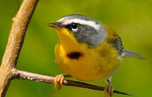 Crescent-chested warbler Bird Species Crescentchested Warbler
