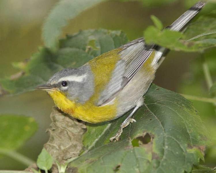Crescent-chested warbler Crescentchested Warbler Audubon Field Guide