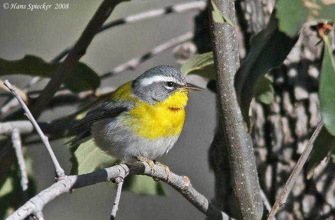 Crescent-chested warbler Crescentchested Warbler
