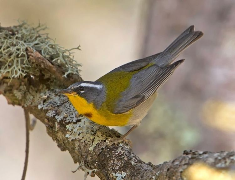 Crescent-chested warbler Oaxaca Legendary Birds and Temples Tropical Birding